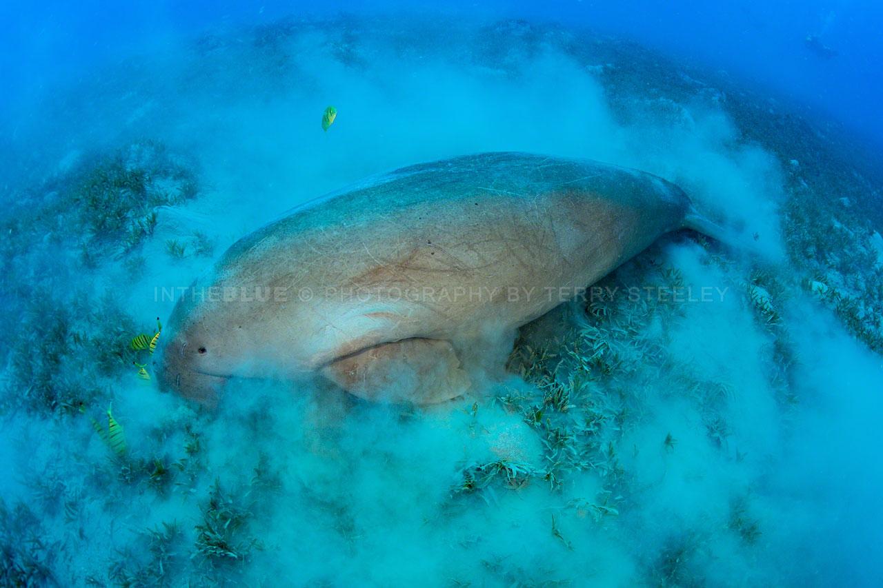 Dugong enjoying a light lunch