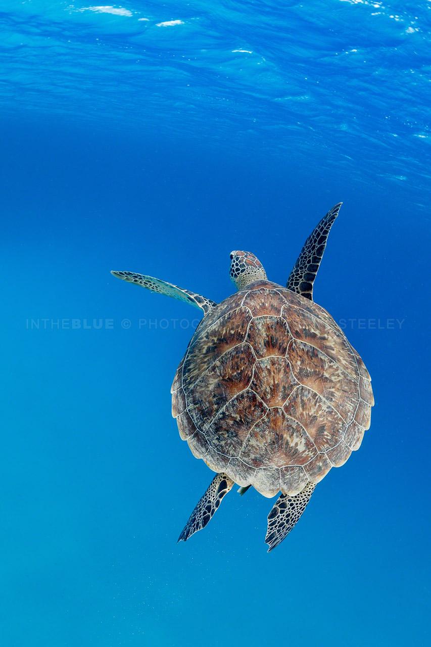 Hawksbill turtle flyby